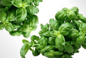 Healthy basil plant